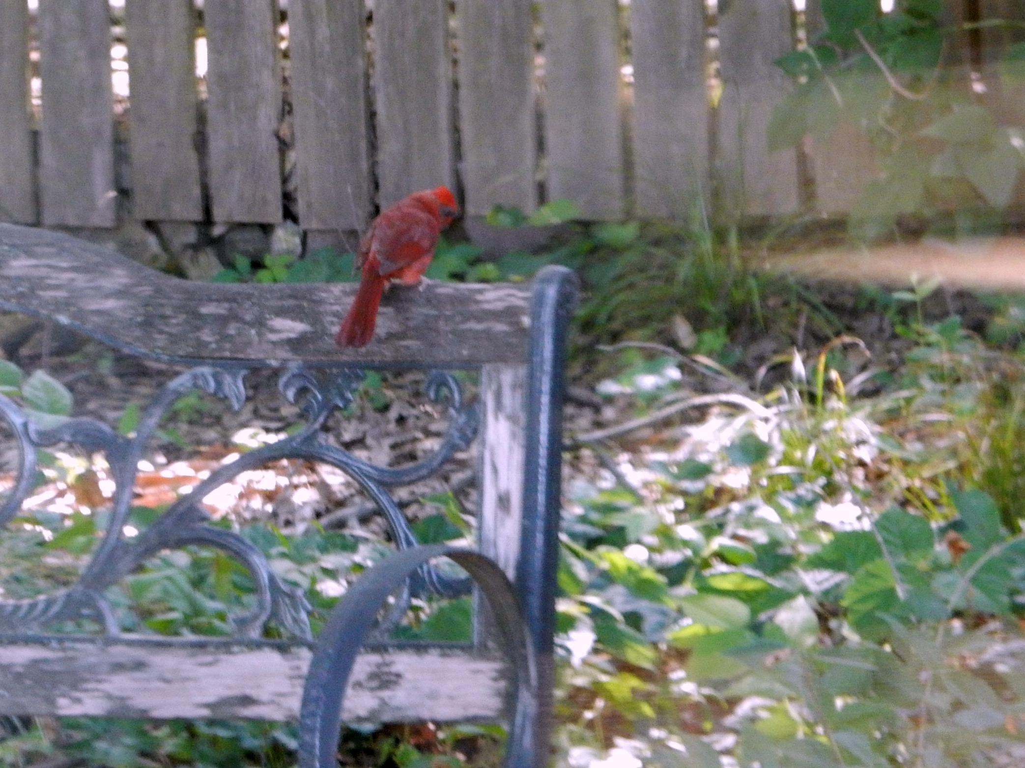 Cardinal on Bench 2