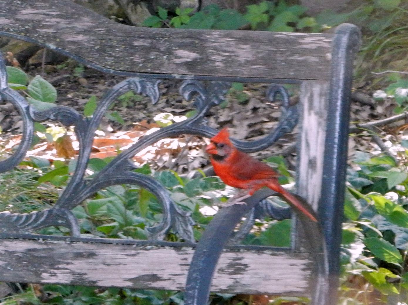 Cardinal on Bench